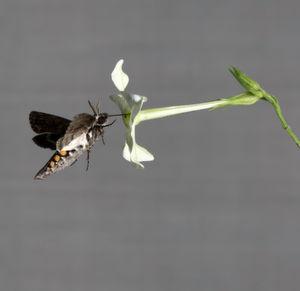 Duft führt spezialisierten Nachtschwärmer zur besten Blüte
