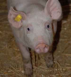 Der Einfluss einer Pilzerkrankung bei Schweinen wurde unterschätzt