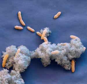 Magnetische Nanopartikel dienen Bakterien als Energiespeicher