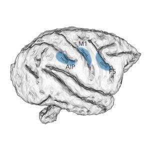 Rhythmus von Gehirnnervenzellen macht Greifbewegungen möglich