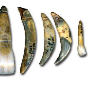 Aufschlussreiche Unterscheidung zwischen modernem Mensch und Neandertaler