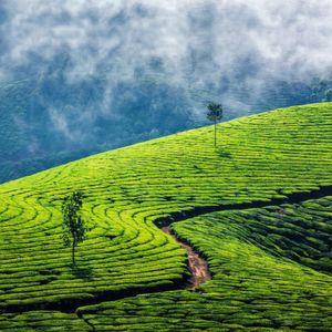 Viel Regen, wenig Geschmack – wie das Klima die Qualität von Tee beeinflusst