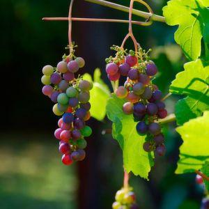 Schädling von Weinpflanzen genetisch variabel