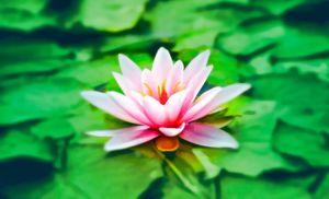 """Die """"Broaden und Build"""" Theorie beschreibt, wie unsere Emotionen unsere Wahrnehmungs- und Verhaltensmuster beeinflussen. Die Entwicklerin dieser Theorie vergleicht das """"Broaden"""" mit dem Bild einer Seerose. Das Öffnen der Blütenblätter steht für die glückliche Stimmung, in der wir uns dann befinden."""