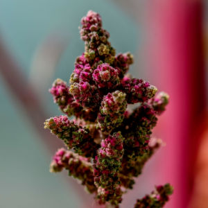 Die tropische Pflanze Quinoa hat ihre Blühzeit an kurze Tage angepasst. ...