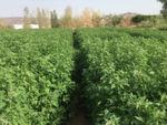 Wissenschaftlerinnen und Wissenschaftler der King Abdullah University (Saudi Arabien) erforschen gemeinsam mit internationalen Partnern u.a. von der Kieler Universität die Kulturpflanze Quinoa.