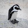 Pinguine in freier Wildbahn?
