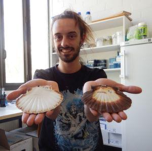 Der Verhaltensökologe David Vendrami von der Universität Bielefeld untersucht, wie sich Populationen der Jakobsmuschel unterscheiden.