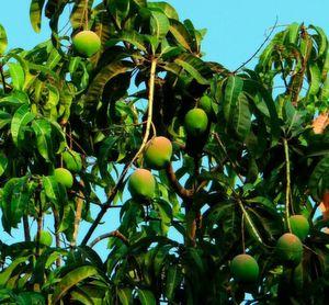 Mango: Gelegentlich mit Pflanzenschutzmitteln belastet