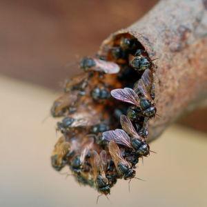 Stachellose Bienen lassen Nester von Soldatinnen verteidigen