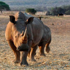 Foundation will mit Sensoren Nashörner schützen