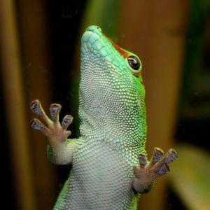 Die Natur zum Vorbild: Die Bionik macht sich biologische Phänomene zu Nutze und überträgt sie auf die Technik – so zum Beispiel die auf nahezu allen Oberflächen haftenden Fußzehen der Geckos.