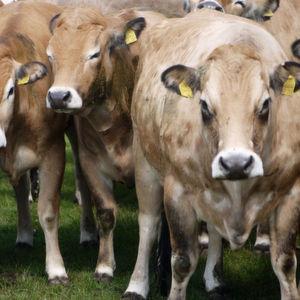 Klimakiller Kuh – Forscher warnen vor drastischem Anstieg des Methan-Ausstoßes