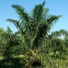 Mybiomass and API Cooperate in the Production of Biomass Feedstock from Oil Palms
