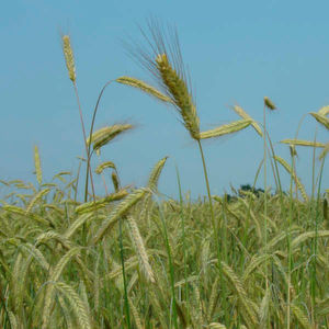 Draft Sequence of Rye Genome Paves Way for Genome-Based Breeding and Crop Improvement
