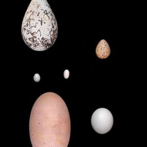 Adaptations for Flight May Have Driven Egg-Shape Variety