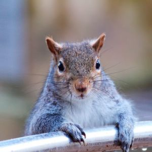 "The grey squirrel (Sciurus carolinensis) is native to deciduous forests in the USA and has been introduced in Europe, where it is causing the local extinction of red squirrel (Sciurus vulgaris) populations through competition and disease. This species has been nominated as among 100 of the ""World's Worst"" invaders."