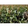 BASF und Monsanto entwickeln gemeinsam ertragreiche Nutzpflanzen