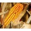 Anbauverbot von gentechnisch verändertem Mais
