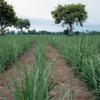 Bayer CropScience baut Zuckerrohrforschung aus