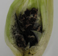 Genom von Mais-Schädling entschlüsselt