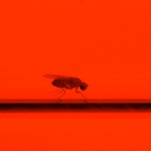 Abb. 1: Drosophila in einer Glasrhre der neu entwickelten so genannten Flywalk Apparatur.