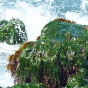 Die Idee, mittels Algen elektrische Energie zu erzeugen, nimmt nun realistische Formen an