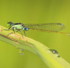 Insektenarten wie die Kleinlibelle Ischnura senegalensis sind durch Pestizideinträge in ihren Lebensraum besonders bedroht.