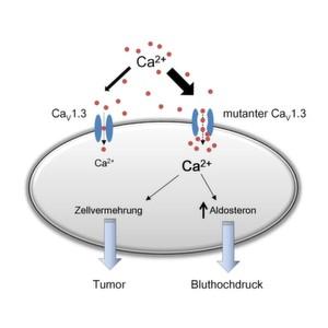 Auswirkungen eines gesteigerten Calcium-Einstroms in Adenom-Zellen: Eine Erhöhung der Calcium-Konzentration steigert die Aldosteronproduktion und das Zellwachstum.