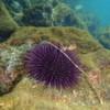 Evolution durch Ozeanversauerung lange zu unrecht vernachlässigt