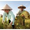 Produktivität des Reisanbaus erhöhen
