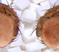 Fliegen vererben Übergewicht an ihre Nachkommen