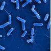Escherichia-coli-Typstamm erstmals sequenziert