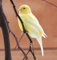 Hormonspiegel sorgt für Gesang bei Kanarienvögeln
