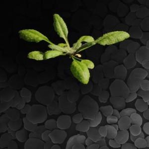 Protein für die Stärkebildung in Pflanzen entdeckt