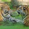 So schützt Sicherheitstechnik vor Tiger-Attacken im Zoo