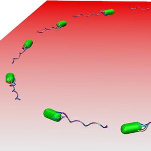 Gelenkte Bewegungen von Bakterien an Oberflächen simuliert