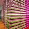 Wie LEDs einer japanischen Hightech-Pflanzenfarm helfen