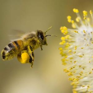 Biene im Anflug auf Blütenpollen