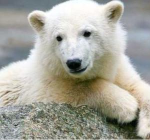 Eisbär Knut – Rätsel um Erkrankung gelöst