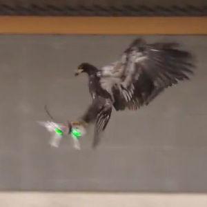 Niederländische Polizei trainiert Greifvögel für den Drohnenfang
