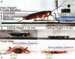 Dabei entdeckten sie erstaunliche Fähigkeiten der Tiere. Die normalerweise 12,5 mm hohen Tiere können sich auch noch bei 4 mm Höhe gut fortbewegen.