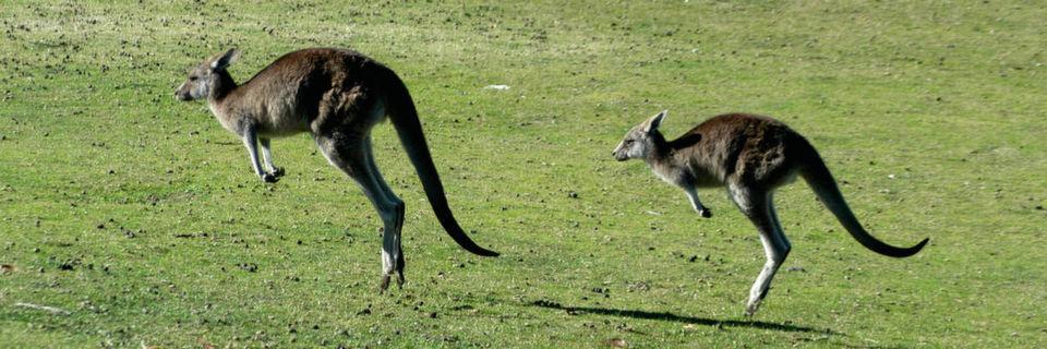 Synchron bewegen sich in Australien nicht nur die Kängurus, sondern auch die Laufkräne eines Sattelschlepperproduzenten in Melbourne.