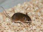 """Die """"Minimaus"""" Mus mattheyi ist eine besonders klein Mausart, die die Forscher am Max-Planck-Institut für Evolutionsbiologie auf ihre Genexpression untersucht haben. Genau wie bei anderen Säugetieren werden 95% des Genoms nicht in Proteine übersetzt."""