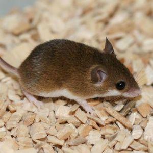 """Die """"Minimaus"""" Mus mattheyi ist eine besonders klein Mausart, ..."""