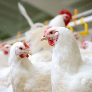 Im Geflügelfleisch sind die Nachweisraten für antibiotikaresistente Keime deutlich höher als auf Fleisch von Rindern und Schweinen.