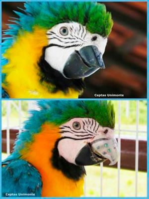 Ein neuer Schnabel für Papagei Gigi