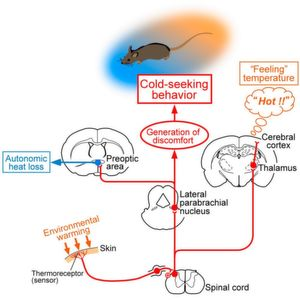 Temperature Comfort-Zone in the Brain