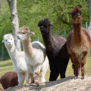 The alpacas held at the Max Planck Institute for Biophysical Chemistry roam freely over large meadows.