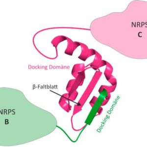 3D structure of an NRPS docking domain pair. The docking domains of NRPS B (green) connects to the fitting docking domain of NRPS C (magenta) via a β-leaflet.